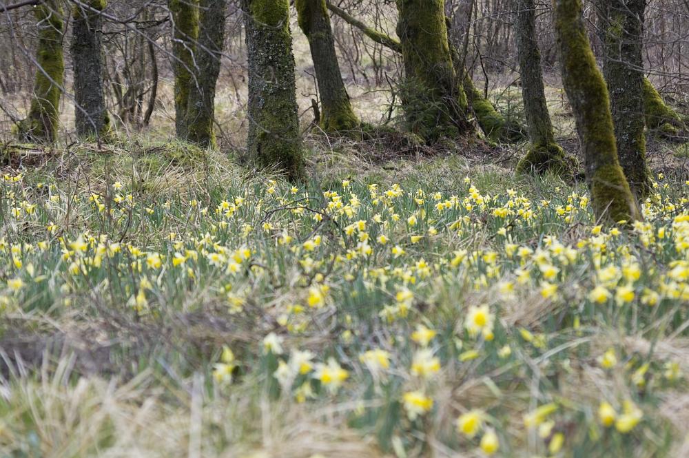 http://www.eifelmomente.de/albums/Nordeifel/Fruehjahr/2012_04_14_Narzissenwanderung/2012_04_14_-_19_Wuestebachtal_DNG_bearb_ausschn.jpg