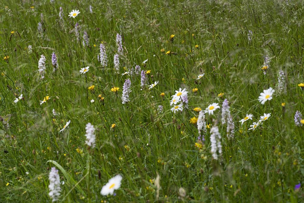 http://www.eifelmomente.de/albums/Nordeifel/Sommer/2016_06_22-23_Orchideen_Sonnenaufgang_Eifel/2016_06_22_-_001_Bei_Krekel_DNG_bearb_ausschn.jpg